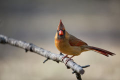 Female Cardinal bird Royalty Free Stock Photography