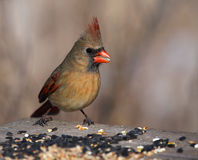 Female Cardinal on a Bird Feeder Stock Images