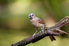 Female Cardinal bird on limb Stock Photos