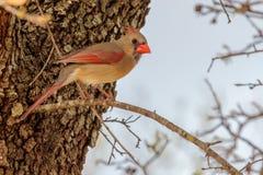 Female Cardinal Bird on a Limb. Female Cardinal bird resting on a limb Stock Image
