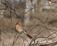 Female Cardinal Bird Royalty Free Stock Image