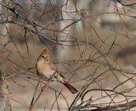 Female Cardinal Bird. Cardinal bird sitting on a branch Royalty Free Stock Image