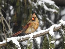 Female cardinal bird on spruce branch. A close up of a female cardinal bird perched on a snow covered spruce branch Stock Images