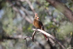 Female Cardinal on a Branch Royalty Free Stock Photos