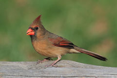 Female Cardinal On A Branch Royalty Free Stock Photography