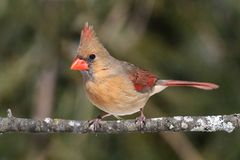 Female Cardinal On A Branch Royalty Free Stock Photo