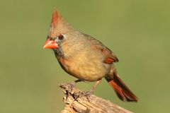 Female Cardinal On A Branch Stock Photography