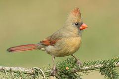 Female Cardinal On A Branch royalty free stock images