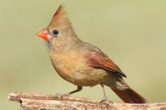 Female Cardinal On A Branch Stock Images