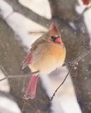 Female Cardinal on Branch in Snow stock photography