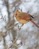 Female Cardinal Royalty Free Stock Photography