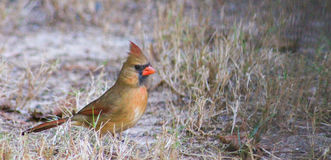Female Cardinal crest up 2 Royalty Free Stock Images