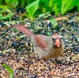Lady bird Cardinal stock photo
