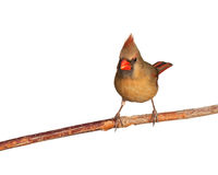 Female cardinal eats a tasty seed Stock Photo