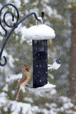 Female Cardinal at Feeder in Winter Stock Photo