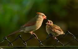 Female Cardinal feeding chick Stock Image