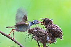 Female Cardinal feeds her baby chicks while standing on their bi. A Song thrush mother feeding her hungry chicks in the nest Stock Photography