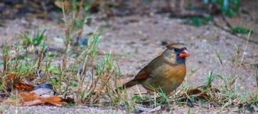 Female Cardinal feeds Royalty Free Stock Image