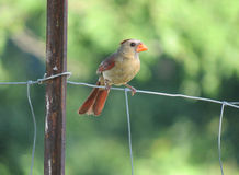 Female cardinal on a fence macro Royalty Free Stock Photos