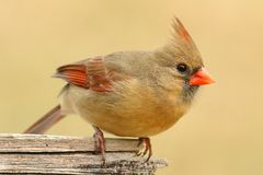 Female Cardinal On a Fence Royalty Free Stock Images