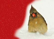 Female Cardinal Graphic Stock Photography