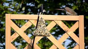 Female Cardinal on a hanging feeder Stock Photography