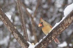 Female Cardinal Having Luch Royalty Free Stock Images