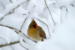 Female Cardinal In Heavy Snow. Looking for her mate Royalty Free Stock Photography