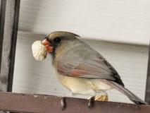 Female Cardinal Holding Peanut in Her Beak Royalty Free Stock Photography