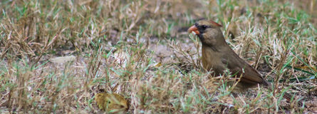 Female Cardinal - hunts Royalty Free Stock Image