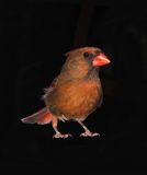 Female Cardinal Isolated on Black Royalty Free Stock Photo
