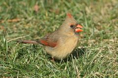 Female Cardinal On A Lawn Royalty Free Stock Image