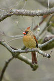 Female Cardinal on limb Royalty Free Stock Photos