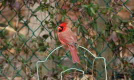 Cardinal Bird looking elegant perched on the fence royalty free stock photography