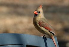 Female Cardinal on Park Bench Close-up. Close-up of a beautiful female cardinal bird sitting on top of a gray park bench, on a blurred brown background royalty free stock photo