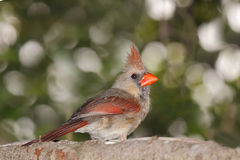 Female cardinal peers back. While perched in a blue spruce pine tree stock photography