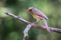 Female Cardinal Stock Photos
