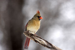 Female cardinal. Perched on a branch in a forest preserve in Illinois Stock Images