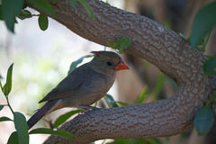 A female Cardinal Stock Photos