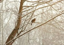 Female cardinal perched on a tree branch in the snowy winter tim. E Stock Photos