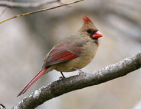 Female Cardinal. Cardinal perched in a walnut tree on a winter day Royalty Free Stock Image