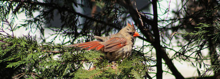 Female Cardinal-on pinetree. Adult Female Cardinal posing on a pine tree branch Royalty Free Stock Photos