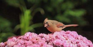 Female Cardinal -Pink Mums Royalty Free Stock Photos
