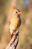 Female cardinal portrait Royalty Free Stock Images