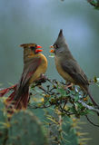 Female Cardinal and Pyrrhuloxia Royalty Free Stock Images