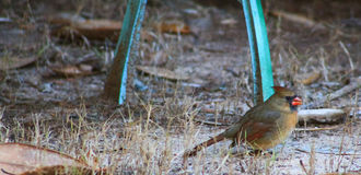 Female Cardinal R Royalty Free Stock Images