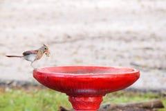 Female Cardinal on red & white bird bath. This beautiful cardinal was holding leaf in beak Stock Image
