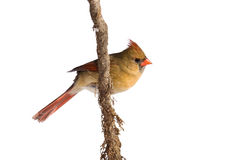 Female cardinal rests on a shreaded vine. White background royalty free stock images