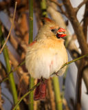 Female Cardinal with Seed  Portrait Royalty Free Stock Photo