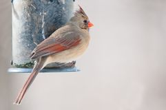 Female cardinal sits on the bird feeder Stock Images
